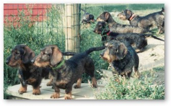 von moosbach zuzelek wirehaired dachshunds bred for blood tracking